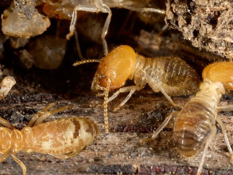 Why Termites are attracted to Sydney Homes