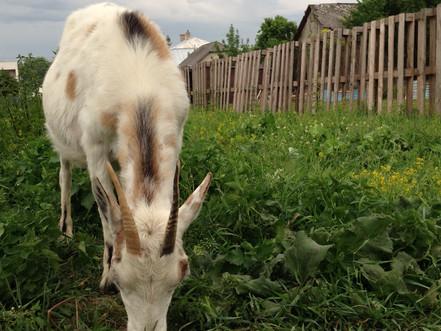 Zázračné účinky kozieho mlieka