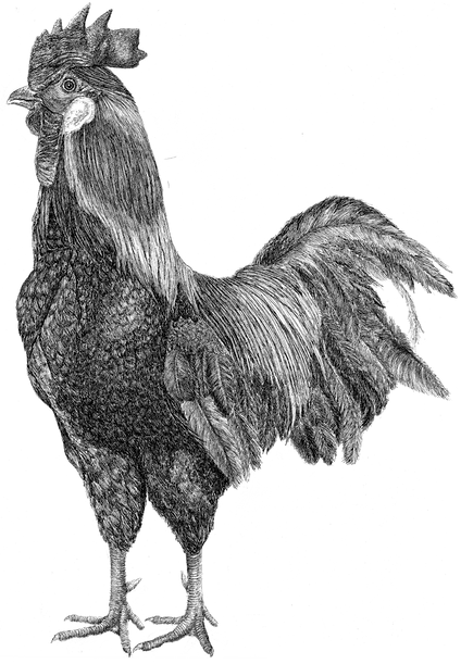 Rooster-2.png