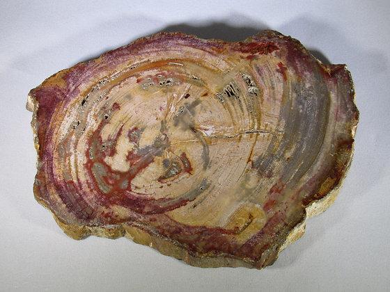 Petrified Wood Polished Slab