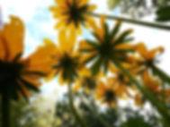 Minnesota Wildflower.jpg