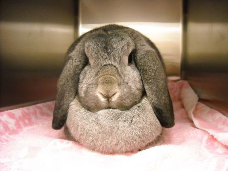 Flop the rabbit sits in a cage awaiting her spay surgery