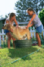 Two little girls washing a dog outside on a lawn