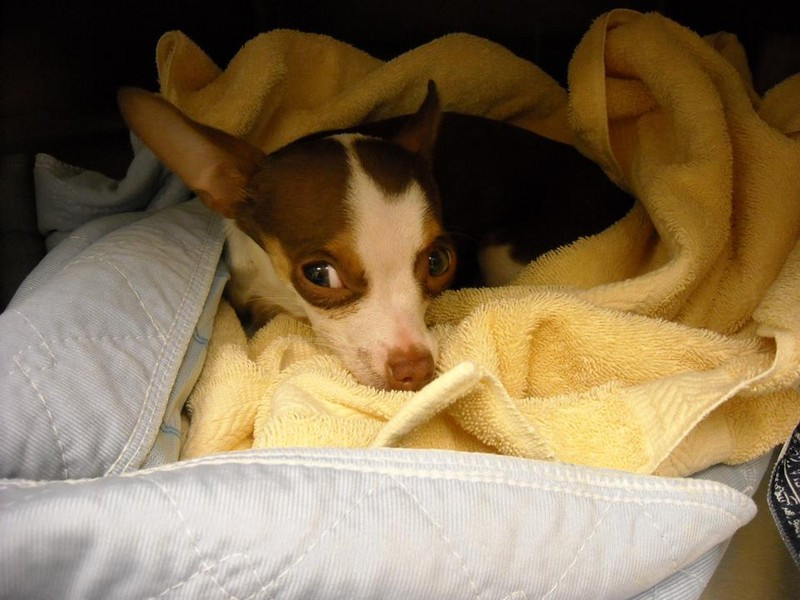 Dog lying on a blanket after spay surgery
