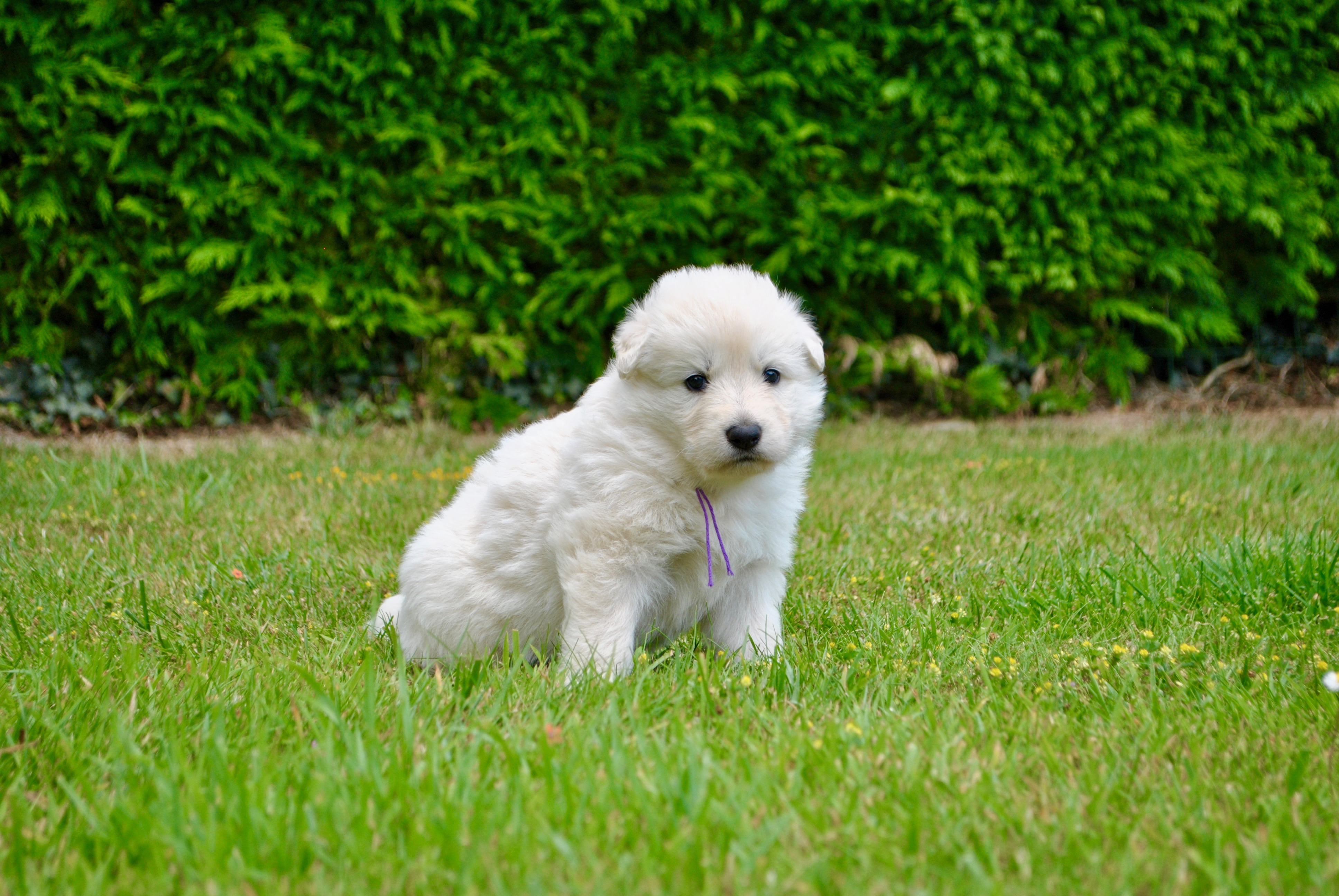 chiot 2018 berger blanc suisse