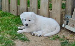 chiot berger blanc suisse Bleizi asg