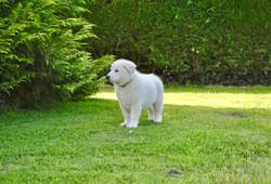 chiot berger blanc suisse Bleizi