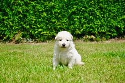 chiot 2018 berger blanc