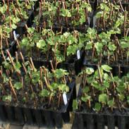 Production de boutures de vignes en cours