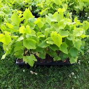 Plants de vignes prêtes pour la mise en terre