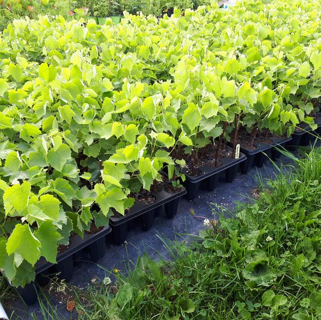 Pieds de vignes matures prêts pour la mise en terre