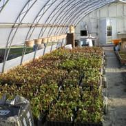 Production de plants de vignes en cours