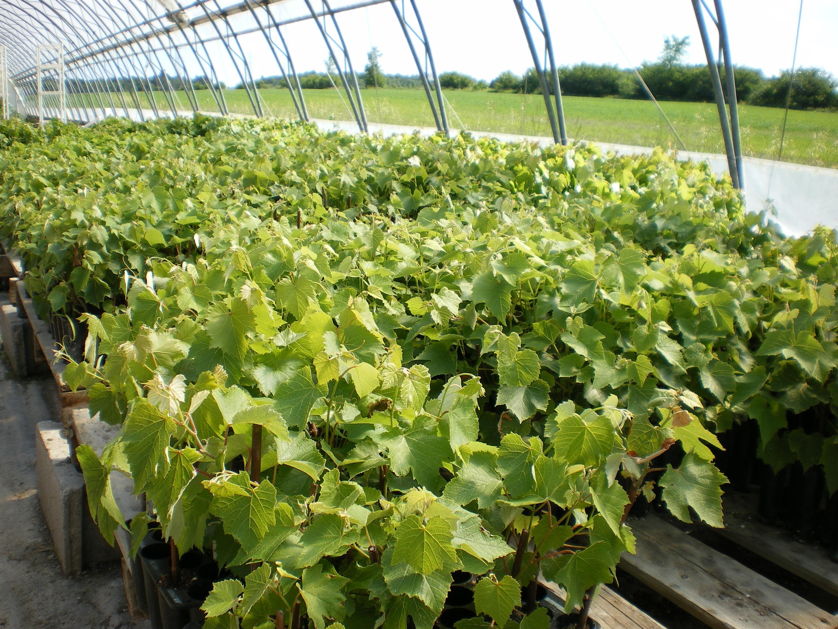 Boutures de vignes