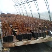 Début de production de boutures de vignes