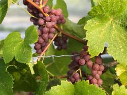 Raisins rouges sans pépins