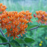 close-up-of-butterfly-weed-blooming-outd