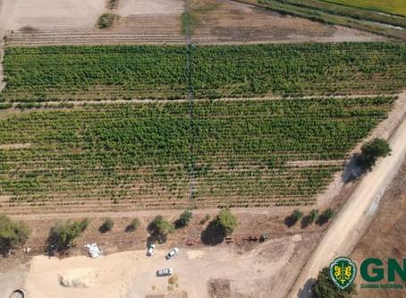 ALMEIRIM: GNR EFETUA A MAIOR APREENSÃO DE SEMPRE EM PORTUGAL DE PLANTAS DE CANNABIS