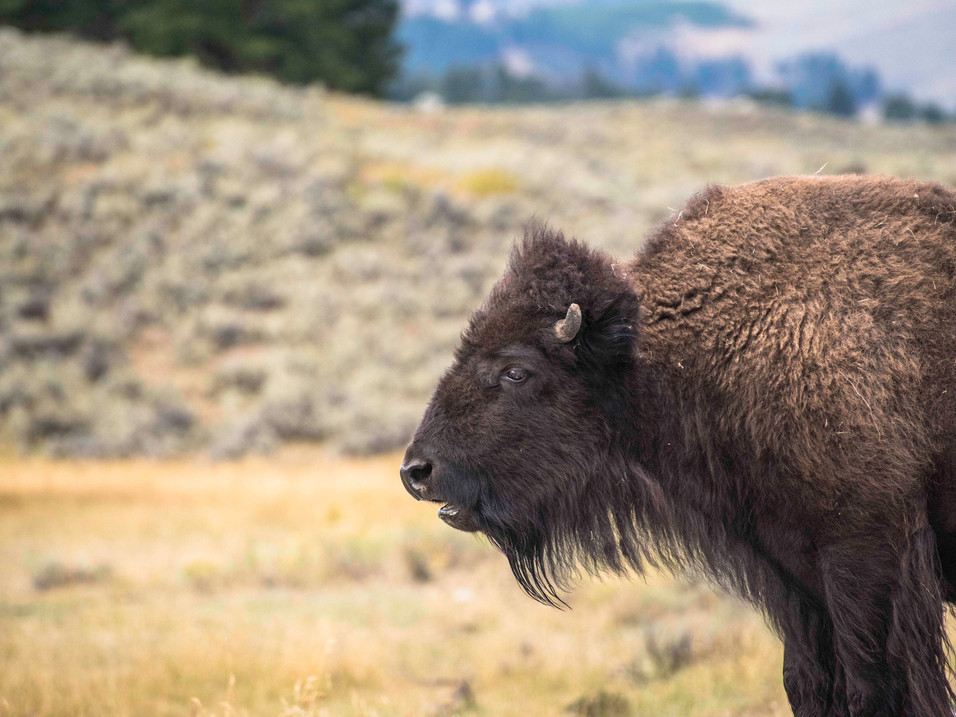 Juvenile Bison in Yellowstone National Park