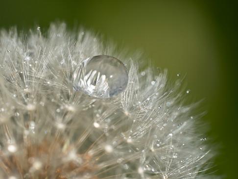 Water droplet on a dandelion