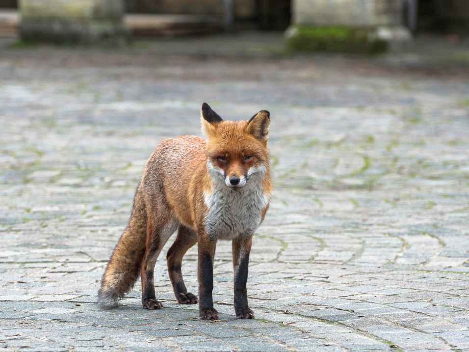 Curious fox at Highgate Cemetery