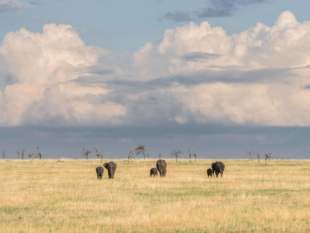 Elephant families walking together in Tanzania