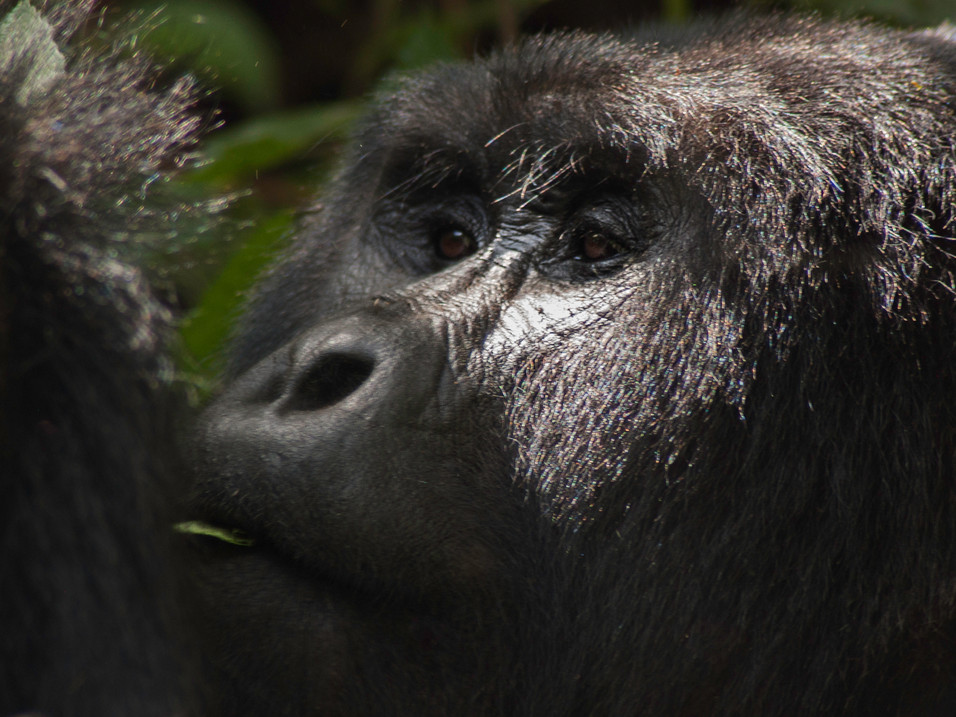 Gorilla eating, Bwindi National Park, Uganda