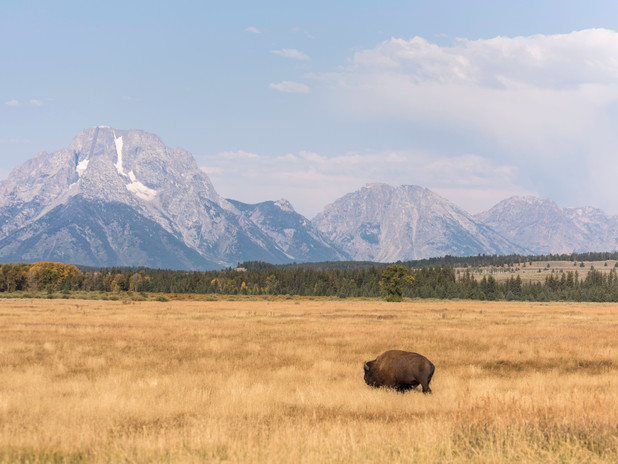 A lone bison in Yellowstone National Park