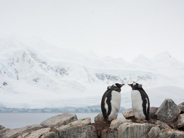 Meeting of the Gentoos, Antarctica