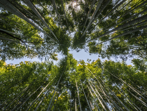 Looking up through the bamboo forest at Arashiama
