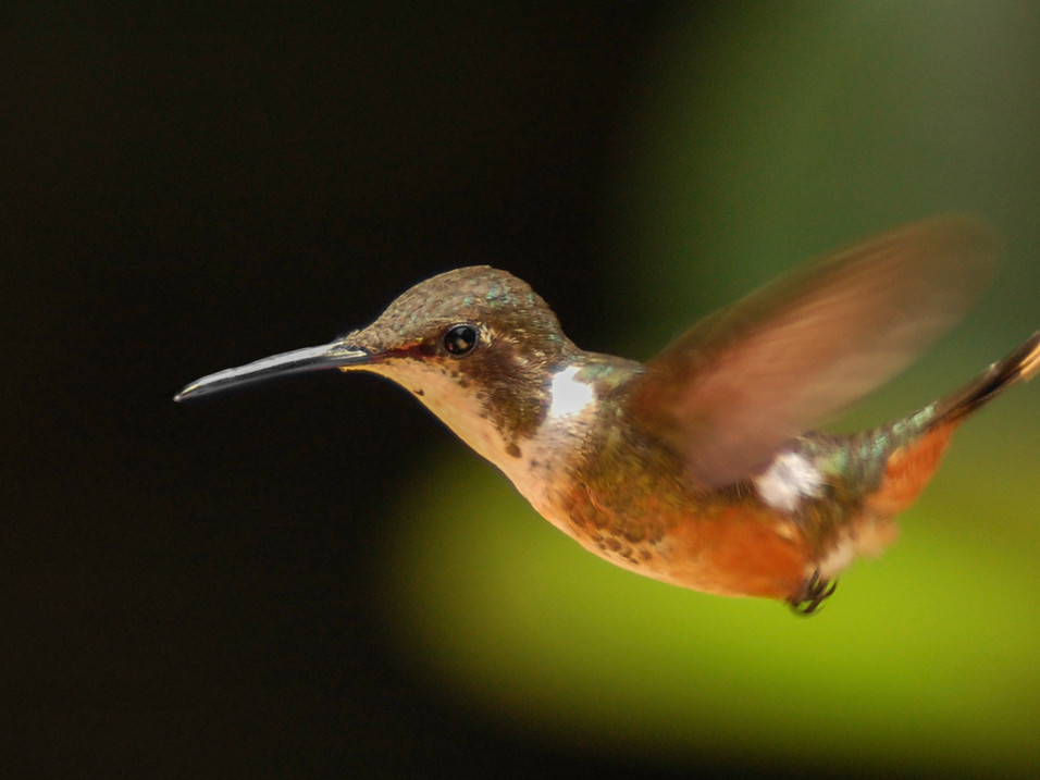 A hummingbird in Monteverde Cloud Forest, Costa Rica
