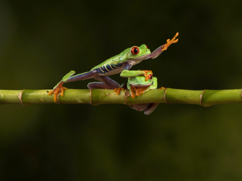 Tree frog taking the quickest route