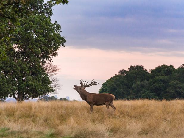 Summer stag, Richmond Park.jpg