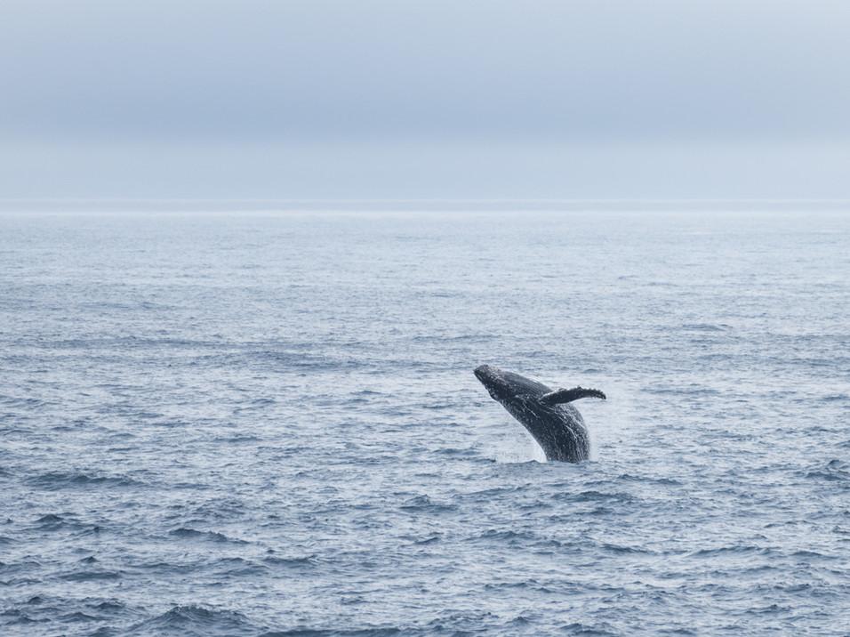Breaching whale, Antarctica