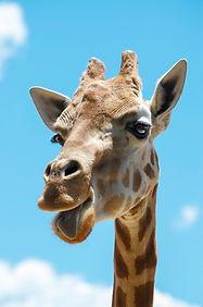 Happy giraffe at Sydney Zoo.JPG
