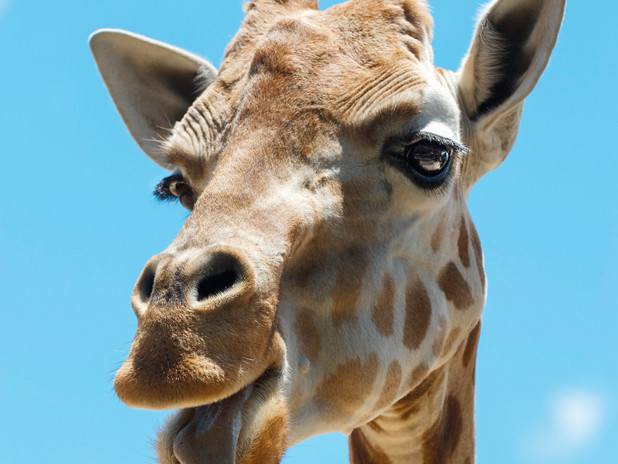 Happy giraffe at Sydney Zoo