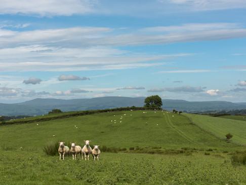 Countryside sheep line-up.