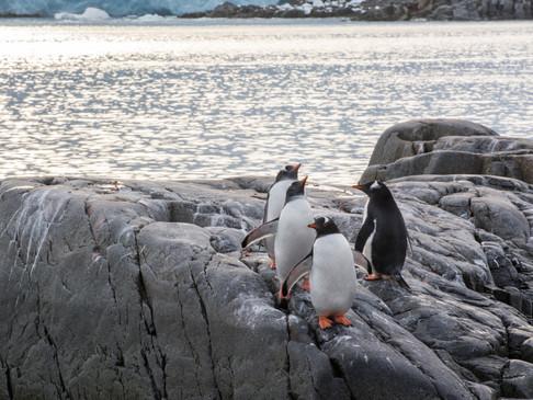 Gentoo Penguin line up, Antarctica