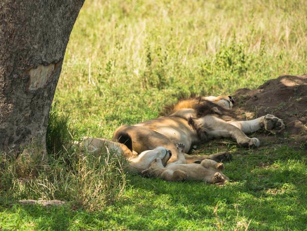 Sleeping lion family, Tanzania