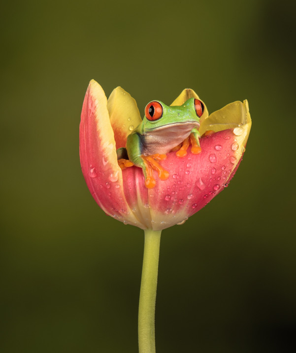 Resting on a tulip