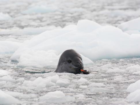 Leopard Seal meeting Gentoo Penguin
