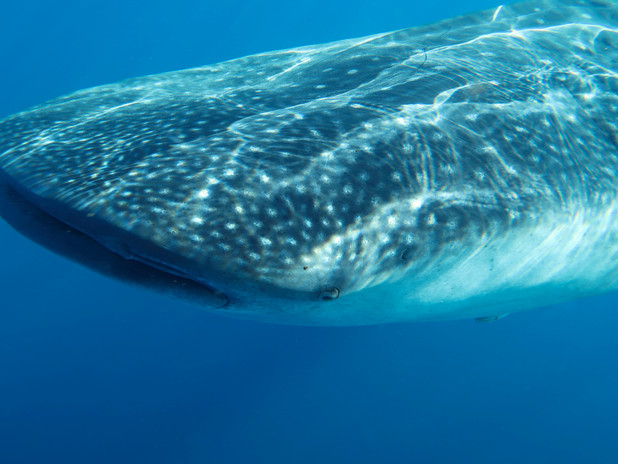 Close up to a whale shark, Isla Mujeres, Mexico