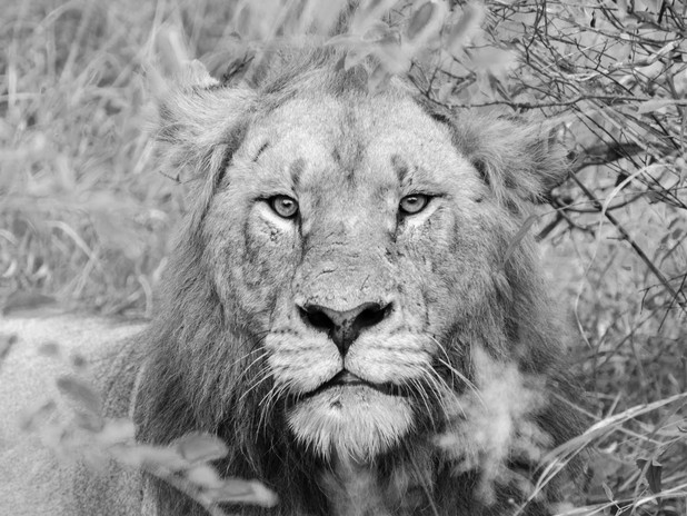 Into the eyes of the lion