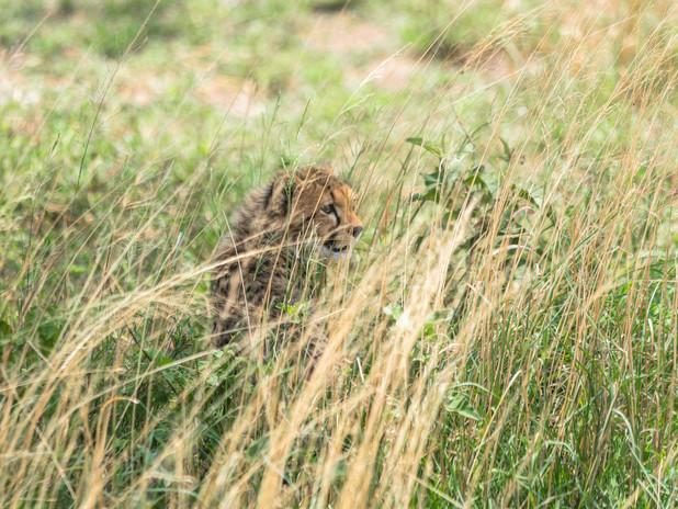 Cheetah cub hiding in grass