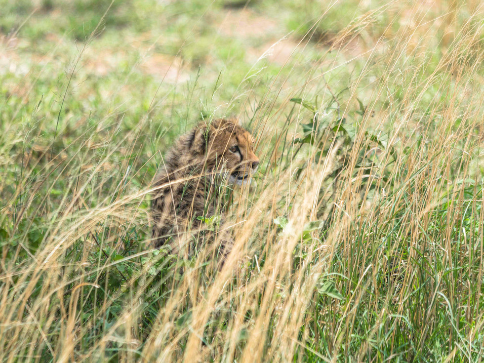 Cheetah cub hiding in grass