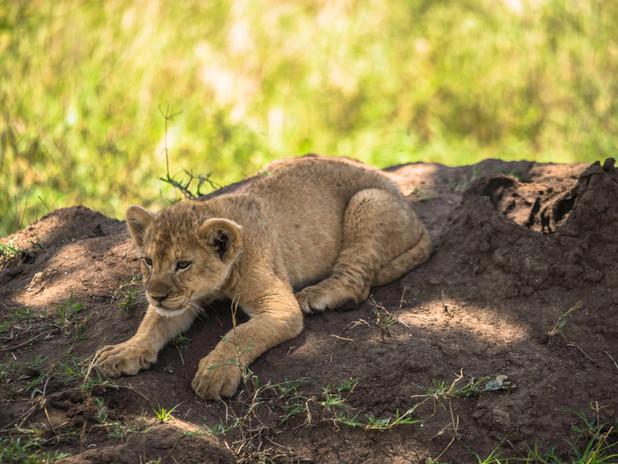 Young lion cub playing, Tanzania