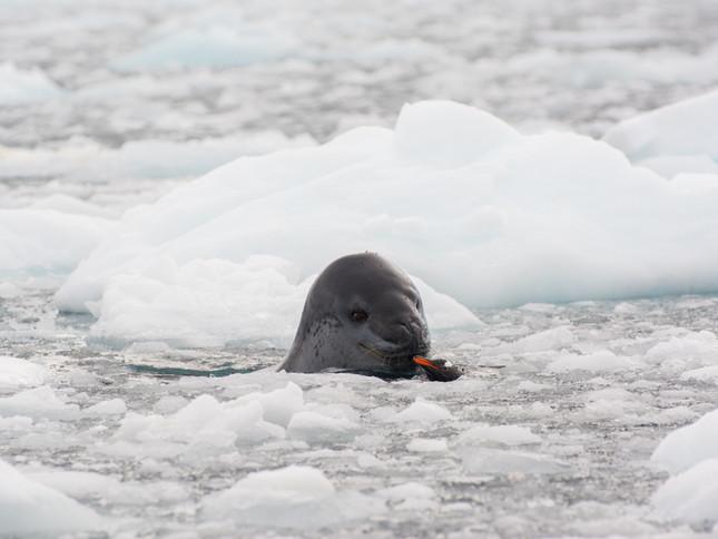 Leopard Seal meeting Gentoo Penguin chick