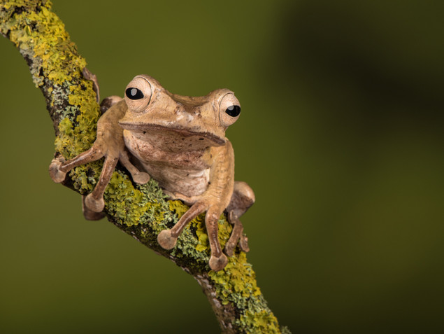 Brown tree frog on a branch