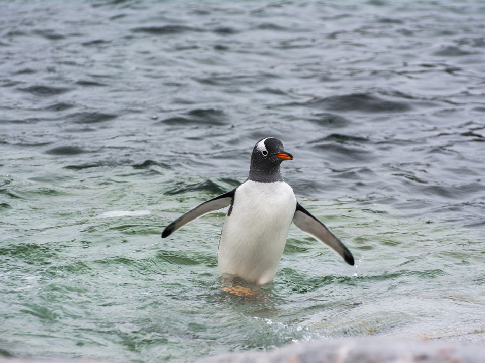 Gentoo Penguin emerging from the sea