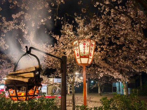 A lantern lights up the cherry blossom in Tokyo