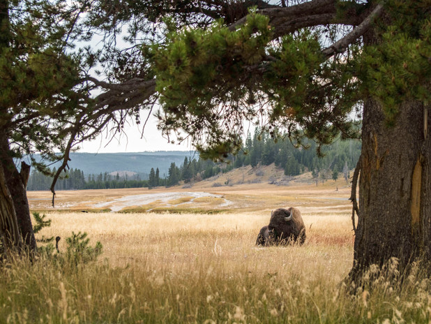 Watching a bison in Yellowstone National Park